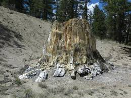 giant petrified redwood stump picture of florissant fossil beds
