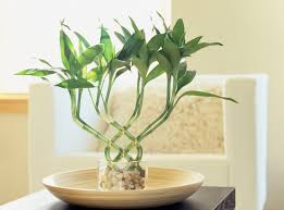 Pot Plants For The Bathroom by Lucky Bamboo Feng Shui Meaning And Use