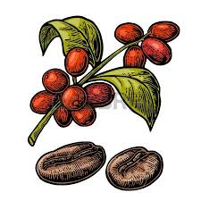 Hand Drawing Branch Of Coffee Royalty Free Cliparts