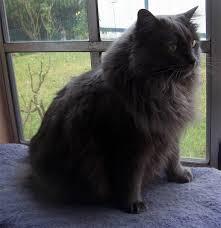 haired cat cymric cat longhair manx cat dinoanimals