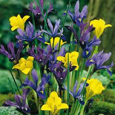 cheap iris bulbs iris bulbs for sale