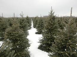 Frasier Christmas Tree Cutting by Top Christmas Tree Cutting Experiences In The St Louis Area Cbs