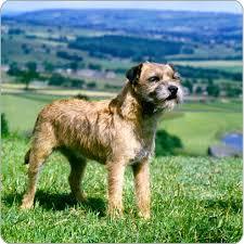 border terrier dog breeds purina australia