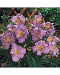 find the best deals on purple de oro daylily bulbs