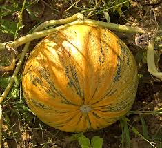 Cinderella Pumpkin Seeds Australia by Pumpkins