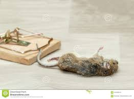 100 Mouse Apartment Closeup Dead Caught In Trap On Gray Floor Stock Image