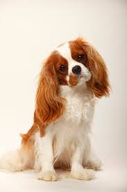 Dog Breeds That Dont Shed List by Cavalier King Charles Spaniel Dog Breed Information Pictures