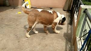 Do Smooth Coat St Bernards Shed by Avatar 2 Smooth Coat Saint Bernard In Bangalore Youtube