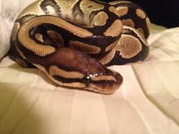 Ball Python Shedding Signs by Spurs Scales That Stick Out