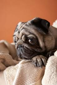 do pugs and puggles shed where do puggles come from care the daily puppy