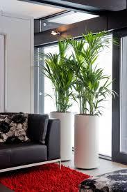 kentia palme die pazifikschönheit eignet sich auch für