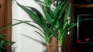 yucca palme das machen wir beim gießen oft falsch