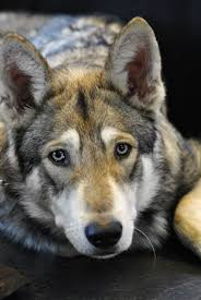 Woods Lamp Examination In Dogs by 134 Best Wolf Dogs Images On Pinterest Wolves Animals And Wolfdog