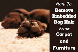 Dogs That Shed Hair by How To Get Dog Hair Out Of Carpet And Furniture