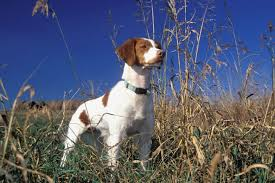 brittany spaniel puppies for sale from reputable dog breeders