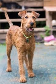Hypoallergenic Dog Breeds That Dont Shed by Laberdoodle Dogs That Don U0027t Shed 23 Hypoallergenic Dog Breeds