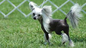What Dogs Dont Shed Or Bark by 19 Small Dog Breeds That Dont Shed Phalene Dog Breed