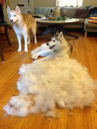 Shedding Blade Vs Furminator by Furminator Reviews And How To Use It Mini Husky Lovers