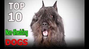 No Shed Dog Breeds Large by Top 10 Non Shedding Dog Breeds Top 10 Animals Youtube