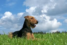 Do Airedale Puppies Shed by Airedale Terrier Dog Breed Information On Airedale Terriers