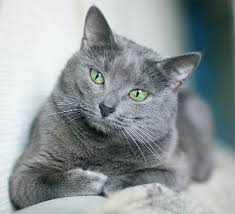 russian cat names russian blue cat knowledge base lookseek