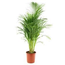 prix des palmiers exterieur acheter palmier plantes pour la maison jardinerie truffaut
