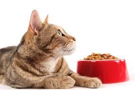 cat wont eat my cat won t eat caloundra pet resort