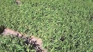 Pumpkin Patch Tyler Tx 2015 by Rockin K Maze 2015 Drone Footage By Bart Bedsole Articles On