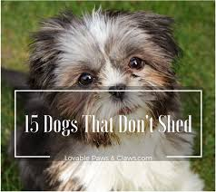 Hypoallergenic Shed Free Dogs by 15 Dogs That Don U0027t Shed Amazing Hypoallergenic Dog Breeds 2017