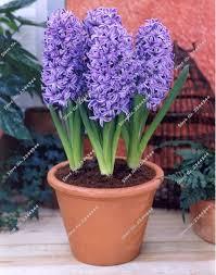 aliexpress buy 100pcs bag hyacinth seeds bonsai flower seeds