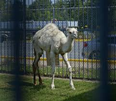 Camel Now At Famed Truck Stop Outside Baton Rouge, But Owner In ...