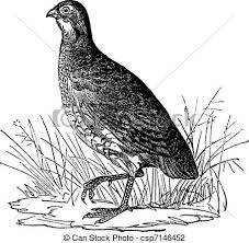 Quail Illustrations And Clip Art 559 Royalty Free Drawings Graphics Available To Search From Thousands Of Vector EPS Clipart