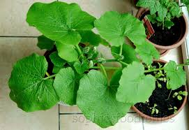 Stages Of Pumpkin Plants by A Garden Update U2013 Sophie U0027s Foodie Files