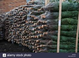 Nordmann Fir Christmas Trees Wholesale by Packed And Stacked Netted Medium Nordman Fir Christmas Trees Ready