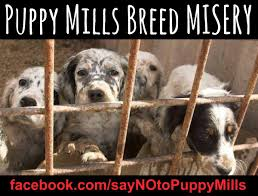 💔 PUPPY MILLS ...HELL ON EARTH ...THE RELIGION OF MONEY ... Breeding Cception To Birth Three Creek Australian Spherds Latest News New Orleans Louisiana Spca 17 Best Aspca Images On Pinterest Animal Rescue Rights Breeders Backyard And Puppy Mills What Is The Difference Signs Of A Breeder Its Dog Or Nothing Image With Fabulous Puppies Trapped In Dirty Are So Happy To See Their Rescuers Rescuogsfrombreeders Breed Gallery Red Flags Warning When Dealing With A Article Why Adopt Sitas Sanctuary Rescue From Mill Being Sold In Pet Store Puppy Remy Griffon For Love Of Animals