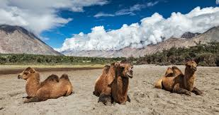 Bactrian Camels In The Himalayas Kashmir India By F9potos Shutterstock