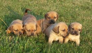 Do Pugs And Puggles Shed by 28 Do Pocket Puggles Shed F2 Puggle Puppies For Sale Dogs