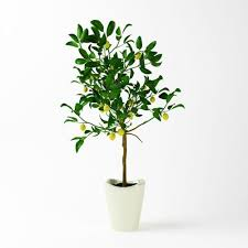 potted lemon tree how to grow a lemon tree in pot care and growing