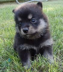 Do Pomskies Shed Fur by Husky Fuzzy Today