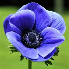anemone blue poppy bulbs anemone with black center anemone