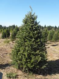 Nordmann Fir Christmas Trees Wholesale by Hicks Christmas Tree U0027s Christmas Trees Archives Hicks Christmas