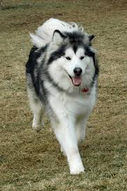 Do Samoyed Dogs Shed Hair by How To Groom An Alaskan Malamute Pethelpful