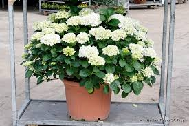 plantation hortensia en pot 28 images comment planter un