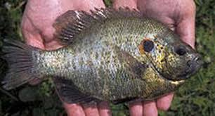 Redear Sunfish Live Held In Hand