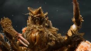 decorator crabs eat fish this is what happens when you give a decorator crab pom poms