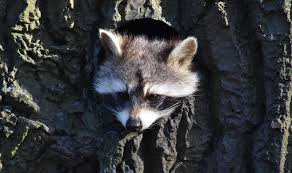Rabid Raccoon Confirmed In Cherry Hill – The Cherry Hill Sun Service Wildlife Command Center Mo How To Get Rid Of Raccoons Youtube With A Motion Activated Sprinkler My To Of Raccoons Video Roof Pool Attic Yard 42 Best Raccoon Pictures Images On Pinterest Wild Animals Search For A Home Removal Homes All City Animal Trapping November 2010 Tearing Up Your Yard Theyre After The Grubs 3 Easy Ways Wikihow In Warning Signs Solutions Problems Precise Termite Baylcariasis The Tragic Parasitic Implications In