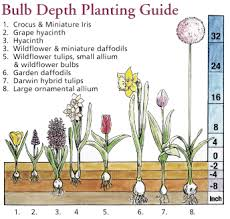 how to plant a flower bulb howbert mays garden centre