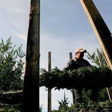 Tannenbaum Christmas Tree Farm Michigan by Cut Your Own Tree Farms Plentiful In Mid Michigan