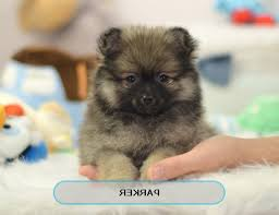 Low Shedding Small Dogs by Best Place To Buy Teacup Puppies Small Dogs For Sale Intended For