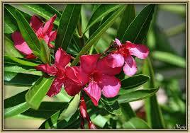 laurier fleur en pot 28 images sur commande laurier boule 3 t